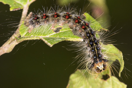 wildlife preserve: Gypsy moth caterpillar, Lymantria dispar, with red and blue tufts of bristles, on a leaf in Shenipsit State Forest in Somers, Connecticut.