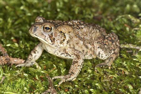 Closeup of a Fowlers toad, Bufo fowleri, in moss on Mount Kearsarge in Winslow State Park, Wilmot, New Hampshire.