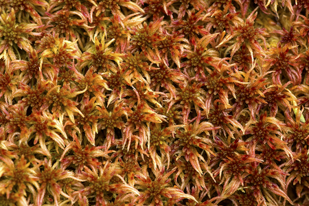 Closeup of red Sphagnum moss over moist rock on Mount Kearsarge in Winslow State Park, Wilmot, New Hampshire.