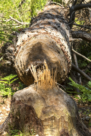 Large tree felled by beaver gnawing at Mud Pond in Sunapee, New Hampshire.