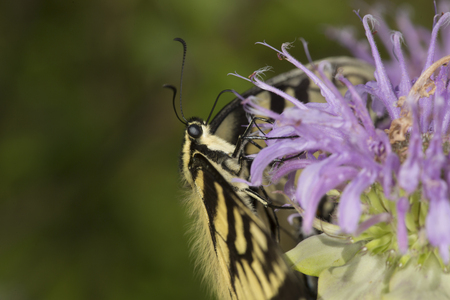 bee on flower: Tiger swallowtail butterfly, Papilio glaucus, in side view on a purple bergamot flower, Monarda fistulosa, at the Belding Wildlife Management Area in Vernon, Connecticut.