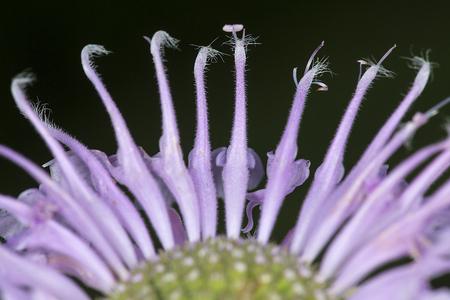 Closeup of lavender flower of wild bergamot, Monarda fistulosa, with long necks resembling dancing swans at the Belding Wildlife Management Area in Vernon, Connecticut.