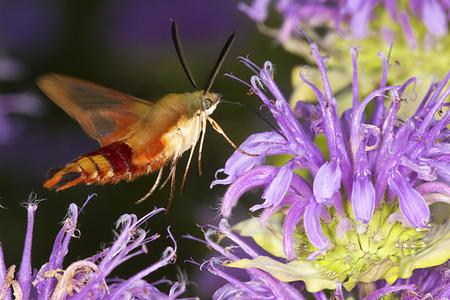 ハチドリは、ウイング、Hemaris thysbe、ラベンダー ベルガモットの花、ヴァーノン、コネチカット州のベルディング ワイルド ライフ マネジメント エ