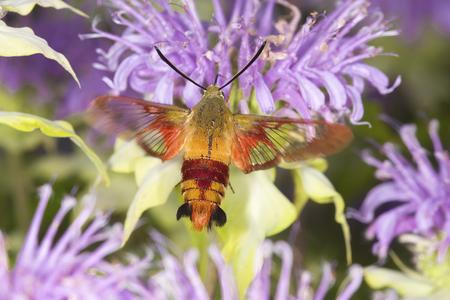 bee on flower: Hummingbird moth, Hemaris thysbe (Sphingidae), caught in flight while foraging for nectar at a purple bergamot flower, Mondarda fistulosa, at the Belding Wildlife Management Area in Vernon, Connecticut. Stock Photo