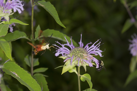 Hummingbird moth, Hemaris thysbe (Sphingidae), foraging for nectar with a bumble bee at a purple bergamot flower, Mondarda fistulosa, at the Belding Wildlife Management Area in Vernon, Connecticut.