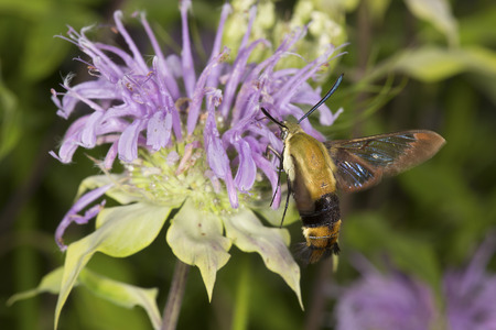 Snowberry clearwing hawk moth, Hemaris diffinis (Sphingidae) caught in flight while foraging for nectar at a purple bergamot flower, Monarda fistulosa, at the Belding Wildlife Management Area in Vernon, Connecticut.