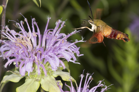 Hummingbird moth, Hemaris thysbe (Sphingidae), caught in flight while foraging for nectar at a purple bergamot flower, Mondarda fistulosa, at the Belding Wildlife Management Area in Vernon, Connecticut. Stock Photo
