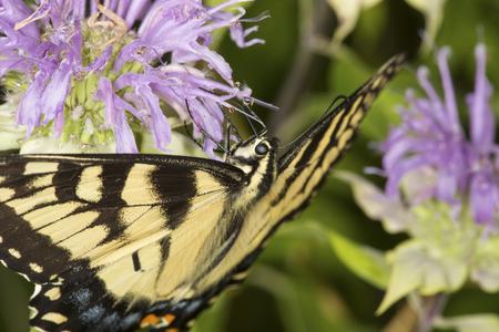 Closeup of a tiger swallowtail butterfly, Papilio glaucus, on a purple bergamot flower, Monarda fistulosa, at the Belding Wildlife Management Area in Vernon, Connecticut.