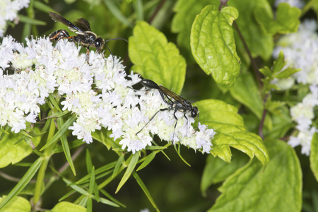 wildlife preserve: Thread waisted wasp, Eremnophila aeronata, on white flowers of mountain mint, Pycnanthemum, with a sphecid wasp, Isodontia, in the background at the Belding Wildlife Management Area in Vernon, Connecticut.
