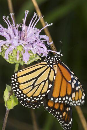 Adult monarch butterfly, Danaus plexippus, order Lepidoptera, on a wild bergamot flower at the Belding Wildlife Management Area in Vernon, Connecticut. Stock Photo