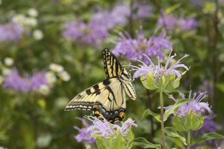Tiger swallowtail butterfly, Papilio glaucus, on a purple bergamot flower, Monarda fistulosa, at the Belding Wildlife Management Area in Vernon, Connecticut. Stock Photo