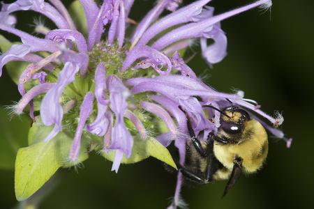 bee on flower: Bumble bee, Bombus sp., hunting nectar on a purple, wild bergamot flower, Monarda fistulosa, at the Belding Wildlife Management Area in Vernon, Connecticut.