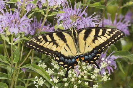 bee on flower: Tiger swallowtail butterfly, Papilio glaucus, on a purple bergamot flower, Monarda fistulosa, at the Belding Wildlife Management Area in Vernon, Connecticut. Stock Photo