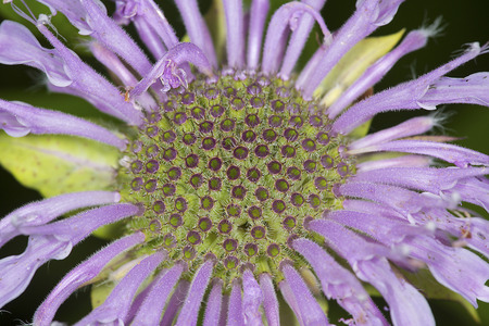 Closeup of lavender flower of wild bergamot, Monarda fistulosa, showing green flower bases at the Belding Wildlife Management Area in Vernon, Connecticut.