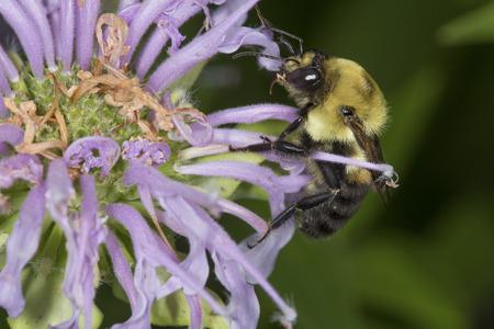 Bumble bee, Bombus sp., hunting nectar on a purple, wild bergamot flower, Monarda fistulosa, at the Belding Wildlife Management Area in Vernon, Connecticut.