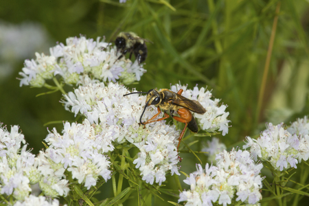 bee on flower: Great golden digger wasp, Sphex ichneumoneus, and a bumble bee on white flowers of the mountain mint, Pycnanthemum tenuifolium, at the Belding Wildlife Management Area in Vernon, Connecticut.