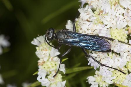 bee on flower: Great black wasp, Sphex pensylvanicus, on white mountain-mint flowers, Pycnanthemum tenuifolium, at the Belding Wildlife Management Area in Vernon, Connecticut.