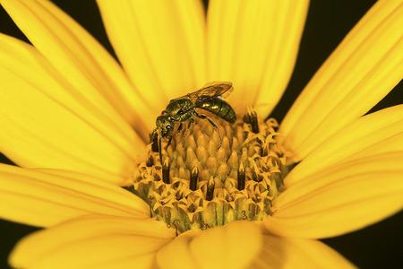 黄金汗蜂、コハナバチ科、狩猟蜜ヴァーノン、コネチカット州のベルディング ワイルド ライフ マネジメント エリアで野生ヒマワリの花は、ディス 写真素材