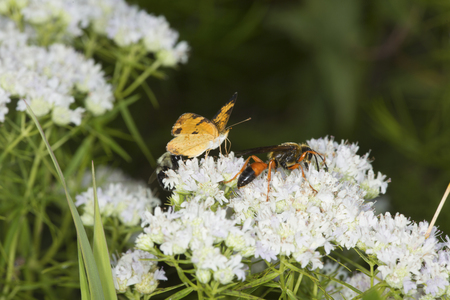 bee on flower: Great golden digger wasp, Sphex ichneumoneus, and a northern crescent butterfly on white flowers of the mountain mint, Pycnanthemum tenuifolium, at the Belding Wildlife Management Area in Vernon, Connecticut.