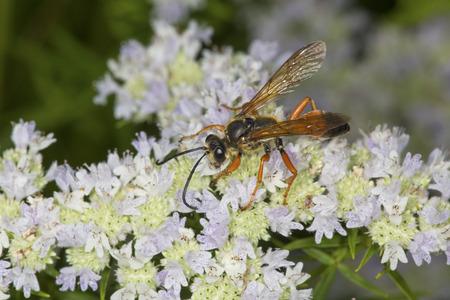 Große goldene Gräberwespe, Sphex ichneumoneus, mit den Flügeln verbreitete auf weißen Blumen der Gebirgsminze, Pycnanthemum tenuifolium, am Belding-wild lebenden Tier-Management-Bereich in Vernon, Connecticut. Standard-Bild