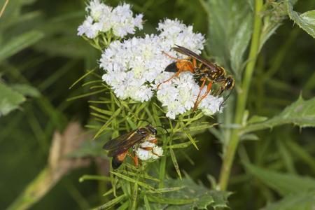 bee on flower: Pair of great golden digger wasps, Sphex ichneumoneus, on white flowers of the mountain mint, Pycnanthemum tenuifolium, at the Belding Wildlife Management Area in Vernon, Connecticut.