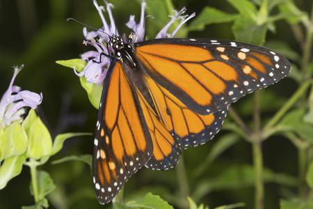 bee on flower: Adult monarch butterfly, Danaus plexippus, order Lepidoptera, with its wings spread on a wild bergamot flower, Monarda fistulosa, at the Belding Wildlife Management Area in Vernon, Connecticut.