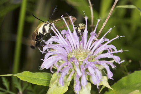 bee on flower: Snowberry clearwing hawk moth, Hemaris diffinis (Sphingidae) caught in flight while foraging for nectar with a bumble bee at a purple bergamot flower in the Belding Wildlife Management Area in Vernon, Connecticut. Stock Photo