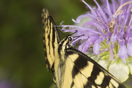 Tiger swallowtail butterfly, Papilio glaucus, in side view on a purple bergamot flower, Monarda fistulosa, at the Belding Wildlife Management Area in Vernon, Connecticut.