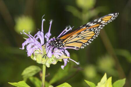 bee on flower: Adult monarch butterfly, Danaus plexippus, order Lepidoptera, on a wild bergamot flower at the Belding Wildlife Management Area in Vernon, Connecticut. Stock Photo
