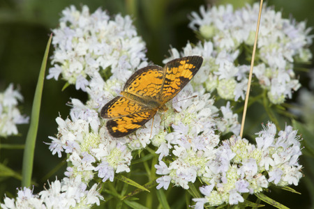 Northern crescent butterfly, Phyciodes cocyta, on mountain mint flowers, Pycnanthemum tenuifolium, at the Belding Wildlife Management Area in Vernon, Connecticut. Stock Photo