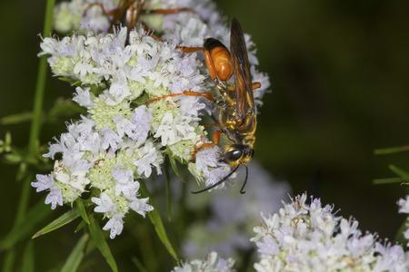 bee on flower: Great golden digger wasp, Sphex ichneumoneus, on white flowers of the mountain mint, Pycnanthemum tenuifolium, at the Belding Wildlife Management Area in Vernon, Connecticut.