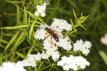 Great golden digger wasp, Sphex ichneumoneus, on white flowers of the mountain mint, Pycnanthemum tenuifolium, at the Belding Wildlife Management Area in Vernon, Connecticut.