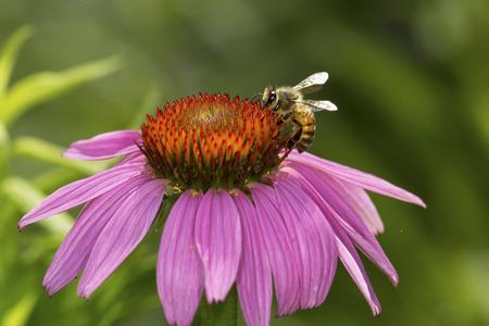Honeybee, Apis mellifera, on the disk of a purple cone flower, Echinacea purpurea, at the Belding Wildlife Management Area in Vernon, Connecticut.