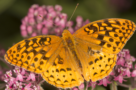 Closeup of a great spangled fritillary butterfly, Speyeria cybele, on milkweed flowers at the Belding Wildlife Management Area in Vernon, Connecticut.
