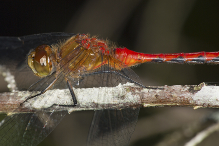 wildlife preserve: Cluseup of a bright ruby red meadowhawk dragonfly, Sympetrum sp., perched on a branch at Mud Pond in Sunapee, New Hampshire. Stock Photo