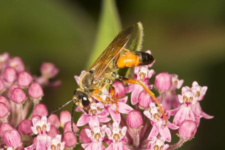 Great golden digger wasp, Sphex ichneumoneus, on purple milkweed flowers, Asclepias syriaca, at the Belding Wildlife Management Area in Vernon, Connecticut.
