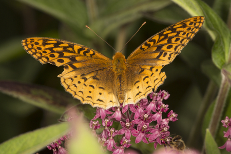 Great spangled fritillary butterfly, Speyeria cybele, on milkweed flowers at the Belding Wildlife Management Area in Vernon, Connecticut.