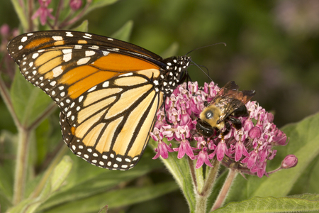 Monarch butterfly, Danaus plexippus, perched on milkweed flowers with a bumble bee at the Belding Wildlife Management Area in Vernon, Connecticut. Stock Photo