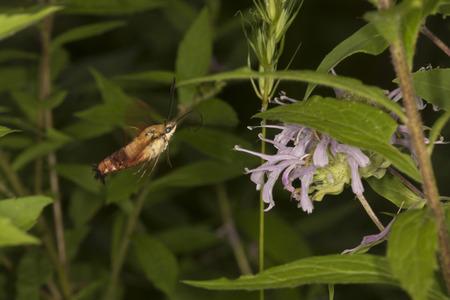 Hummingbird moth, Hemaris thysbe (Sphingidae), foraging for nectar at a purple bergamot flower, Mondarda fistulosa, at the Belding Wildlife Management Area in Vernon, Connecticut. Stock Photo