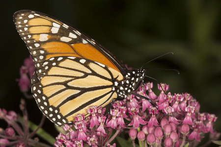 Side view of a monarch butterfly, Danaus plexippus, perched on milkweed flowers at the Belding Wildlife Management Area in Vernon, Connecticut.