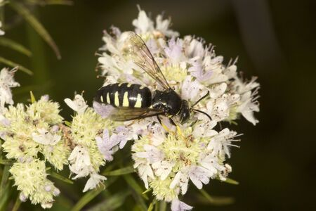 Closeup of sphecid wasp on white flowers of narrow-leaved mountain-mint, Pycnanthemum tenuifolium, at the Belding Wildlife Management Area in Vernon, Connecticut. Stock Photo