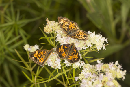 Three northern crescent butterflies, Phyciodes cocyta, on mountain mint flowers, Pycnanthemum tenuifolium, at the Belding Wildlife Management Area in Vernon, Connecticut. Stock Photo