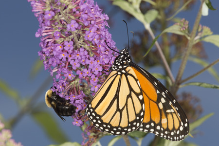 Adult monarch butterfly, Danaus plexippus, order Lepidoptera, with its wings folded on a butterfly bush at the Donnelly Preserve in South Windsor, Connecticut. Stock Photo