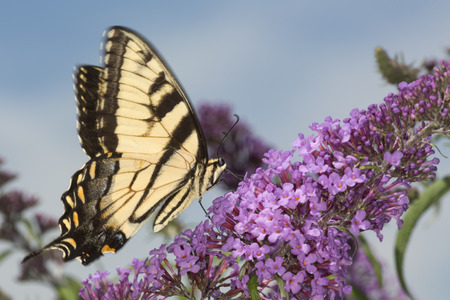 windsor: Tiger swallowtail butterfly, Papilio glaucus, on a purple butterfly bush, Buddleja davidii, an invasive species, at the Donnelly Preserve in South Windsor, Connecticut. Stock Photo