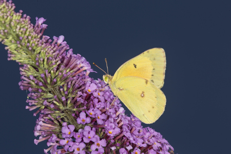 Common sulphur butterfly, Colias philodice, on a purple flowering butterfly bush, Buddleja davidii, an invasive species, at the Donnelly Preserve in South Windsor, Connecticut. Stock Photo