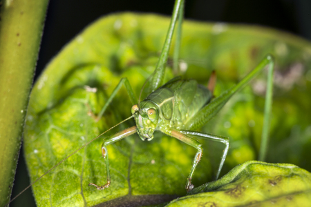 Female, fork tailed bush katydid, Scudderia furcata, with prominent ovipositor on milkweed plant at the Belding Wildlife Management Area in Vernon, Connecticut.