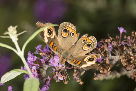 Buckeye butterfly, Junonia coenia, with prominent eyespots, on lavender flowers of butterfly bush at the Donnelly Preserve in South Windsor, Connecticut. Stock Photo