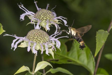Snowberry clearwing hawk moth, Hemaris diffinis (Sphingidae) caught in flight while hovering near a purple bergamot flower, Monarda fistulosa, at the Belding Wildlife Management Area in Vernon, Connecticut.