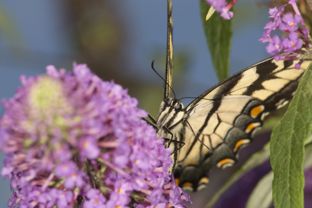 Tiger swallowtail butterfly, Papilio glaucus, on a purple butterfly bush, Buddleja davidii, an invasive species, at the Donnelly Preserve in South Windsor, Connecticut. Stock Photo
