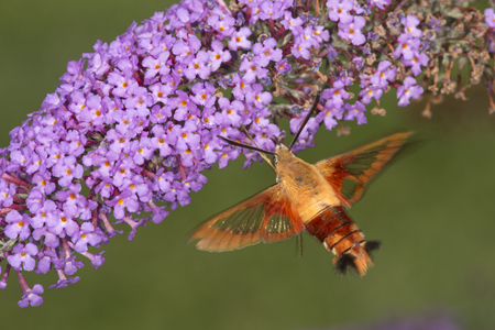 Hummingbird clear wing, Hemaris thysbe, a hawk moth in the Sphingidae, caught in flight while visiting a lavender butterfly bush, Buddleja davidii, at the Donnelly Preserve in South Windsor, Connecticut. Stock Photo